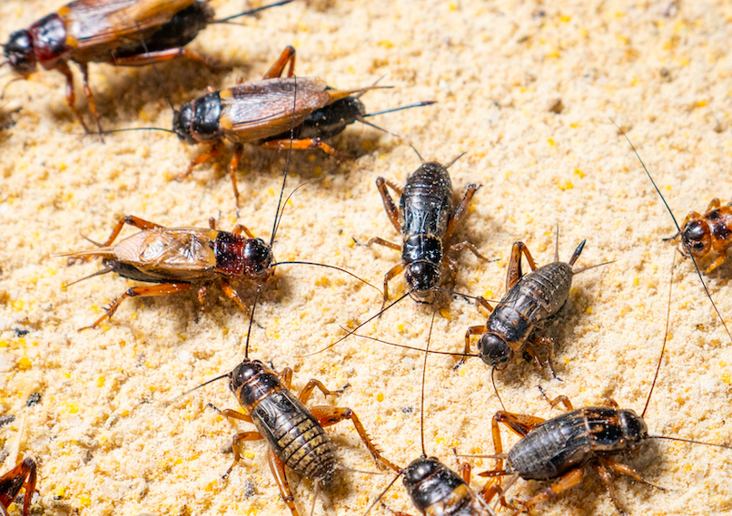 How To Deal With Crickets In Your House?